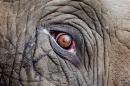 Sloní oko - foto na plátně 50x80 cm