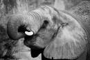 Slon pro štěstí BW - foto na plátně 50x80 cm
